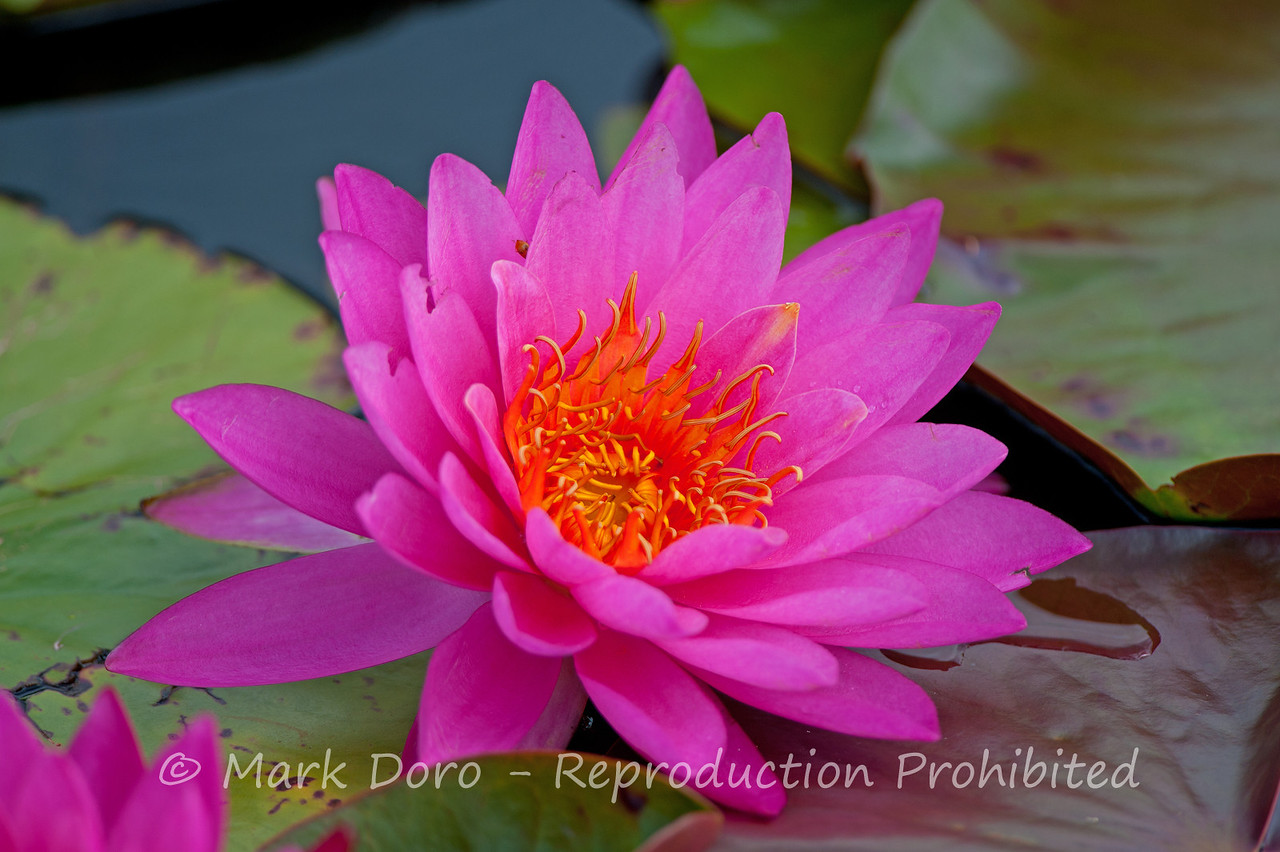 Pink Water Lilly, Tea Gardens, NSW