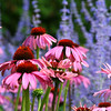 Sweet purple coneflowers with a backdrop of lavender.