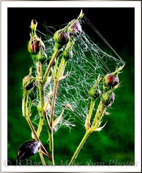 Aphid Web