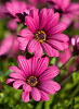 Purple Desert Flowers