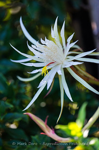 Cactus Flower, Tea Gardens, NSW