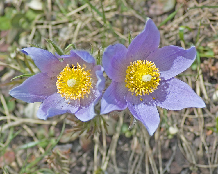 Pasque Flower-1233