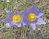 Pasque Flower-1233
