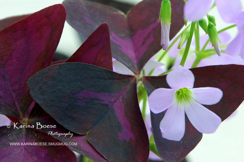 Purple Shamrock flower