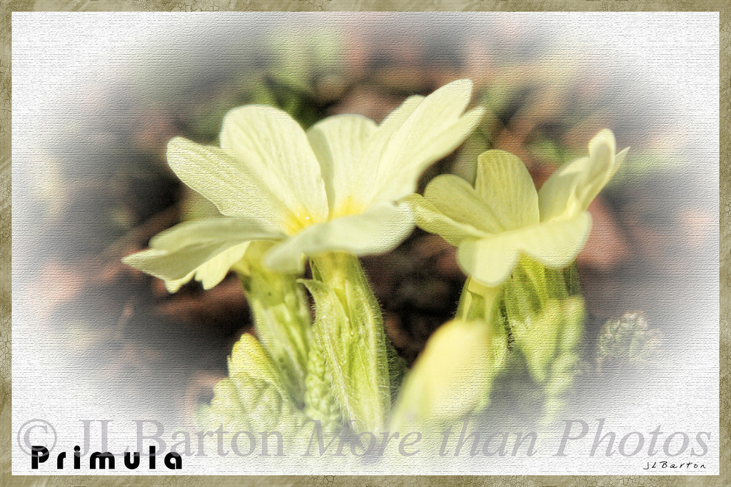 Wild primrose Blossoming for the first time this year, under the bushes transplanted last year from the driveway.
