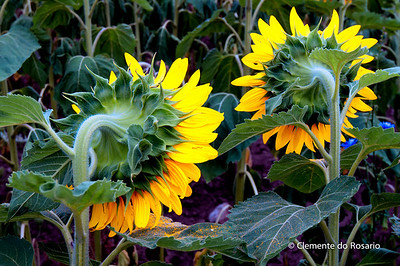 Sunflowers in bloom, Safari Road, Ontario,Canada