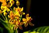 butterfly weed flowers yellow garden DSC_8906 1