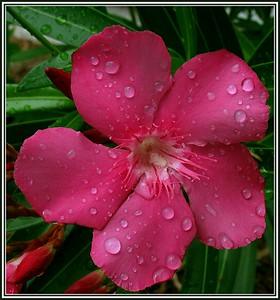 Oleander in the rain
