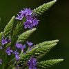 Blue Vervain - July 1, 2012