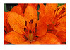 Asiatic Lilly, Orange
