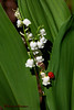 Lily of the Valley with Lady Bug