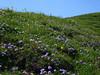 SwissWildflowers2