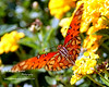 Butterfly on Yellow Lantana