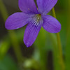 Arrow leaved Violet - May 19, 2012