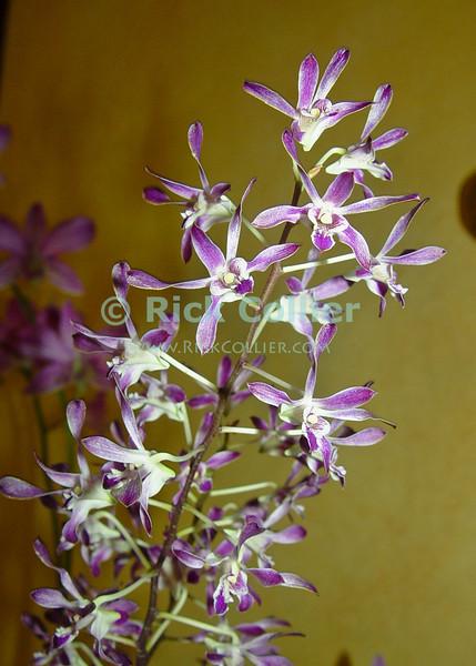 Amanoka Villa, Discovery Bay, Jamaica.  Orchids thrive in the tropical air around Amanoka.  © Rick Collier<br /> <br /> <br /> <br /> <br /> <br /> Jamaica Discovery Bay Amanoka Villa tropical orchid flower purple white green