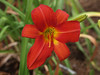 Kathy's Day Lily