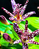 10-19-08 toad lily closeup-20081019