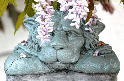 Just lyin' around 2013-05-09  What plans to you have for this glorious day?  This guy seems content to hide under the wisteria and watch the world go by.  Today is a holiday in Austria (Corpus Christi) - which doesn't mean much to us retirees except that the stores are closed and the restaurants filled - and it is indeed a perfect spring day.  Seen in front of a house nearby.  Update:  opps, make that Ascension instead of Corpus Christi.