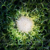 Top of a Thistle - PAINTING - Copyright 2017 Steve Leimberg - UnSeenImages Com _Z2A7924