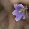 Hepatica - Hepatica nobilis - April 2008