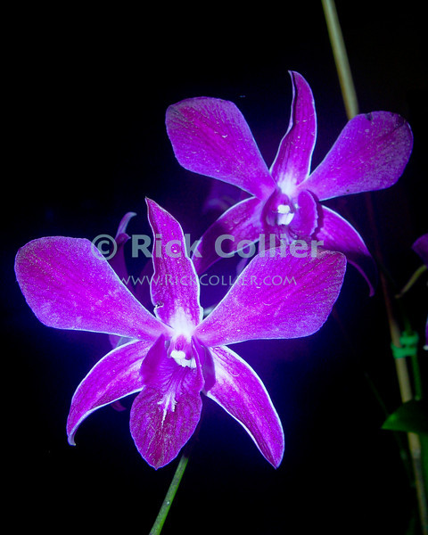 Amanoka Villa, Discovery Bay, Jamaica.  Orchids thrive in the tropical air around Amanoka.  (Dendrobium orchid)  © Rick Collier<br /> <br /> <br /> <br /> <br /> <br /> Jamaica Discovery Bay Amanoka Villa tropical orchid flower dendrobium purple