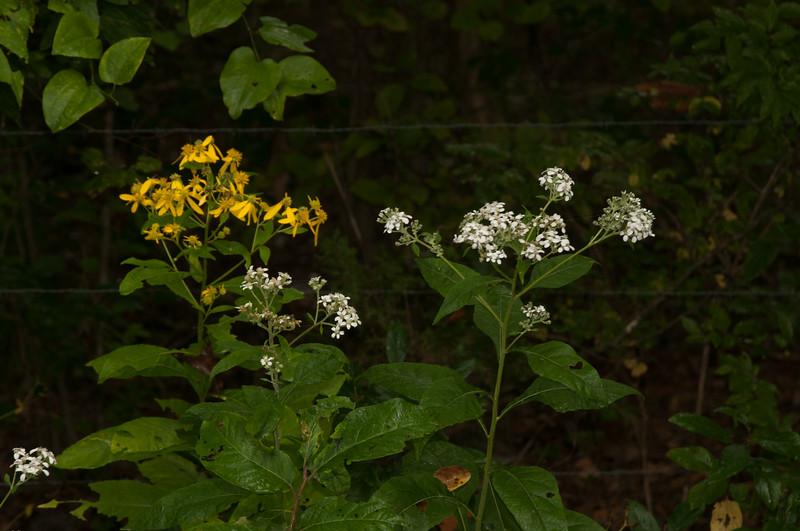 Roadside wildflower -Norfork River Arkansas (9)