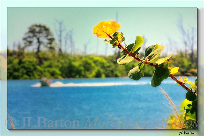 Sea Grapes Along the Intercoastal Waterway near Englewood, Florida, USA