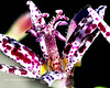 10-19-08 toad lily 2 closeup-20081019