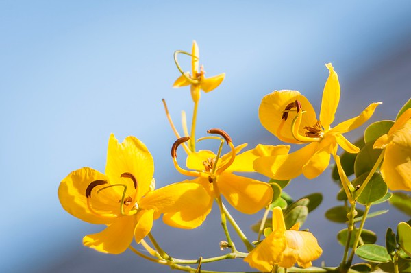 Cassia Blooms