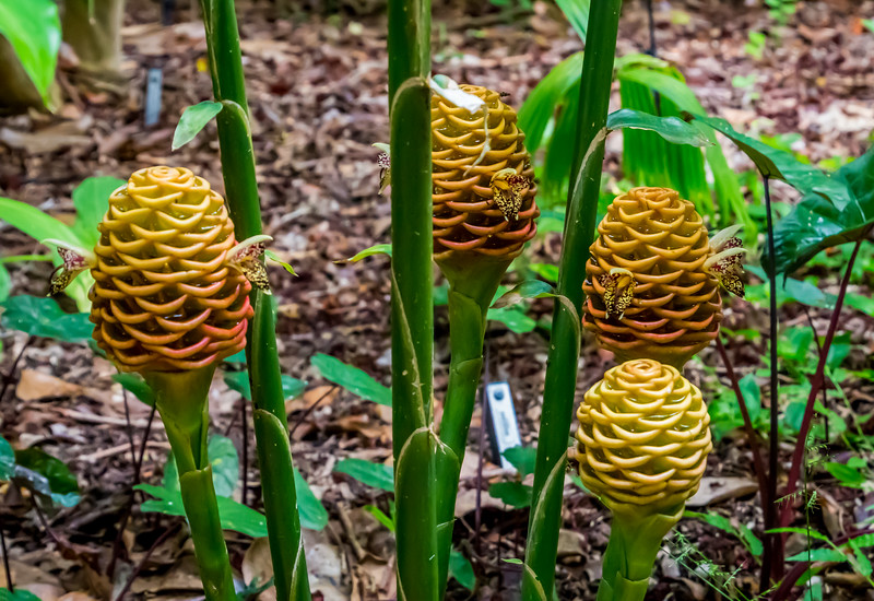 Beehive Ginger clump