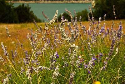 Wildflowers at Canyon Lake, Canyon Lake, Texas