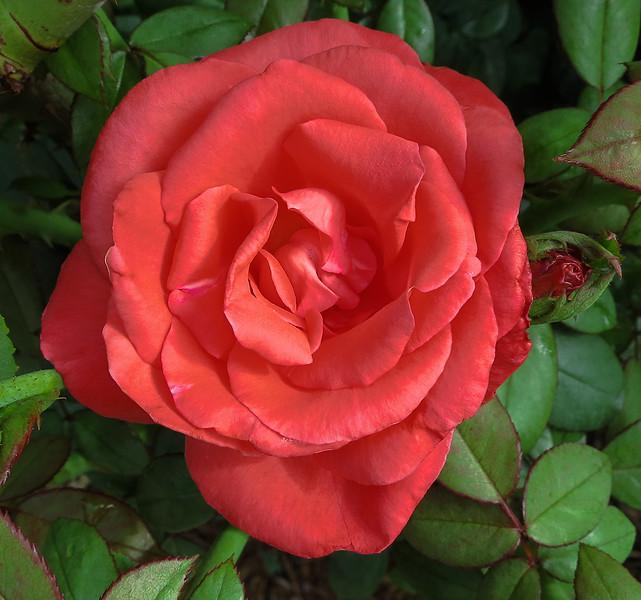 IMG_0910 Moonstone Rose