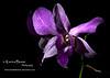 orchid dendrobium blue flower 1