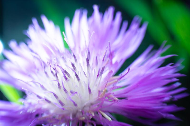 Coneflower Purple 01