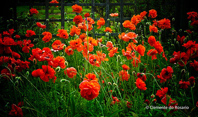 Red Poppies Poppies in bloom at Gairloch Gardens, Oakville, Ontario, Canada