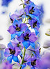 Delphinium with artistic filter.