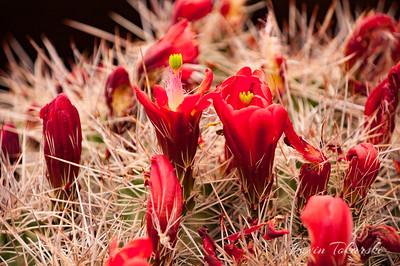 Desert Cactus Flowers, Moab, Utah