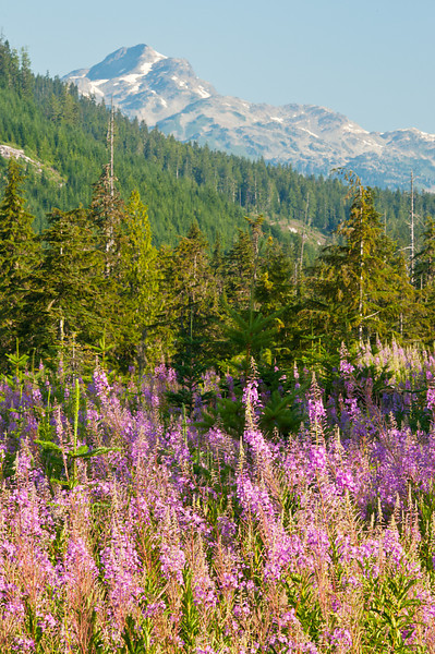 Wildflowers in the Brandywine Valley, Whistler, BC 2