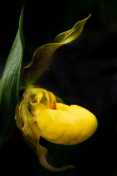 Yellow Lady Slipper, Big Hill Springs, Alberta