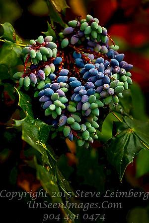 Berries At White Oak - Copyright 2016 Steve Leimberg - UnSeenImages Com _20110329_1436