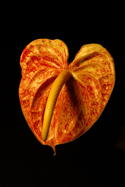 Anthurium marbled