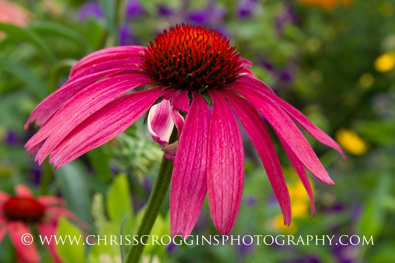 Echinacea 5
