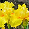 Yellow Iris After the Rain