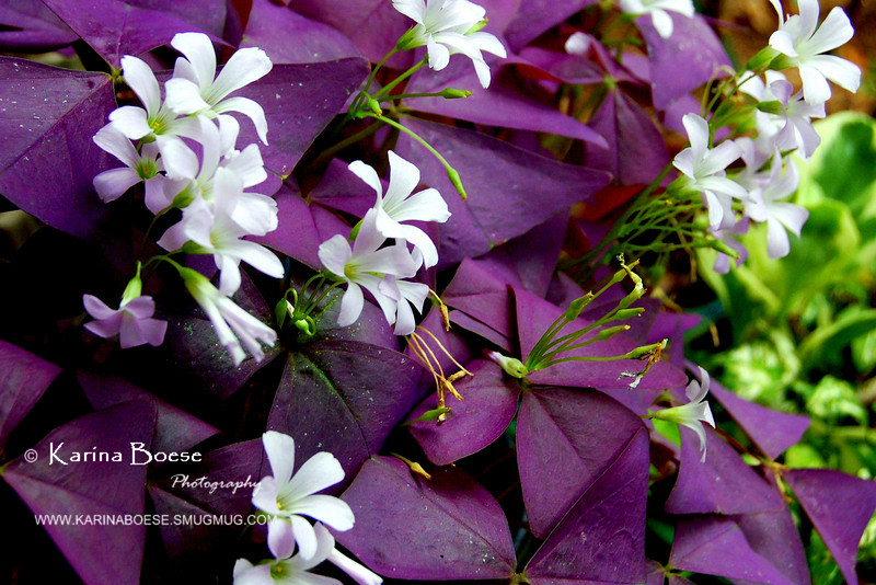 Purple Shamrock (Oxalis Triangularis)