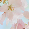Cherry Blossoms 2