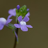 Blue Toadflax - May 2011