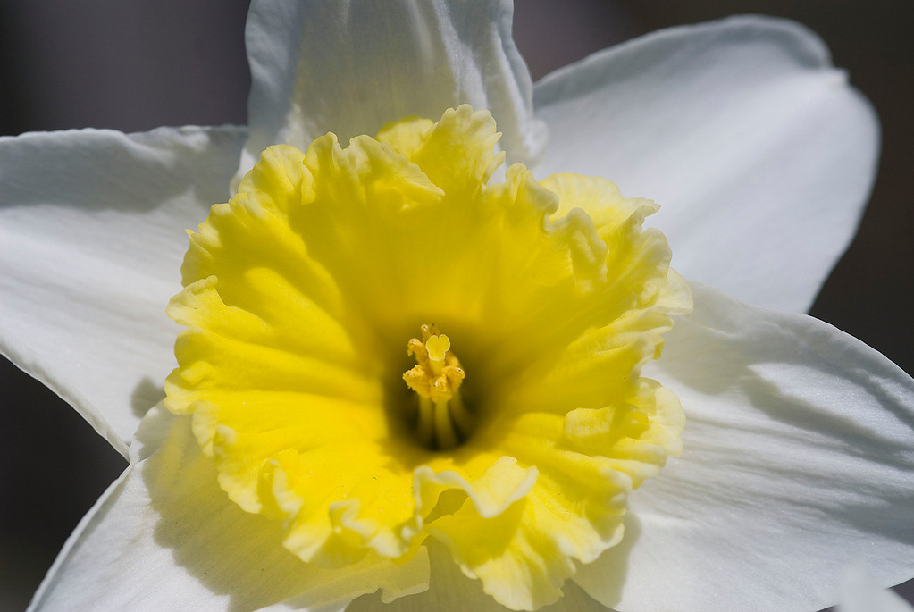 White-yellow daffodil.