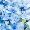 Blue Hydrangea Bloom