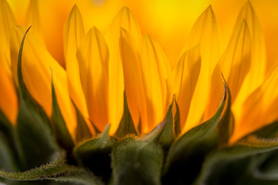 The morning sunlight glows through the petals of a sunflower.