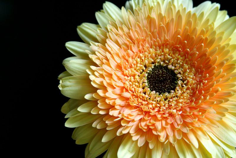 Glowing yellow face of a Gerbera daisy.
